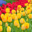 Multicolored tulips on the flowerbed — Stock Photo #64426073
