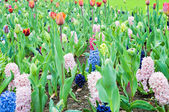 Hyacinths and tulips. Spring landscape. — Stock Photo