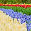 Multicolored hyacinth flowerbed spring flower park — Stock Photo #64963579