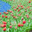 Red tulips and blue hyacinth — Stock Photo #64963875