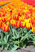 Spring field of red and striped tulips — Stock Photo