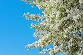 Prunus padus blossom — Stock Photo