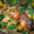 Squirrel in autumn forest — Stock Photo #56833513