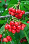 Sweet cherry on the branch — Stock Photo