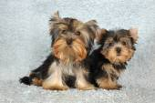 Two puppies Yorkshire terrier — Stock Photo
