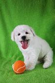 Puppy Bishon Frise — Stock Photo
