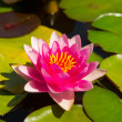 Beautiful pink water lily — Stock Photo #52113889