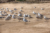Lot of gulls on the shore. Atlantic Beach, Portugal. — Foto de Stock