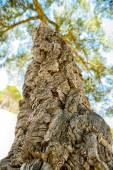 Cork oak — Stock Photo