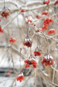 Red rowan tree in winter forest — Stock Photo