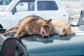Dead foxes after the hunt — Stock Photo