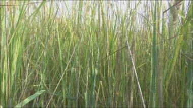 The high grass — Vídeo stock