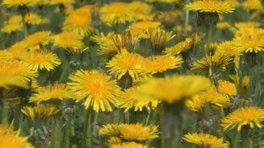 Dandelion flowers — Stock Video