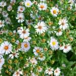 白 daisywheels — ストック写真 #54082957