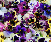Flower Pansy — Stock Photo