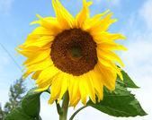 Beautiful sunflower against blue sky — Stock Photo