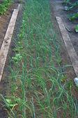 Onion on vegetable garden — Stock Photo