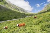 Cows at grasland — Stock Photo