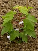 Sugar maple sapling — Foto de Stock