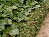 Growing pumpkins in arid zone — Stock Photo
