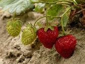 Strawberries — Foto Stock