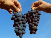 Two grapes clusters — Stock Photo