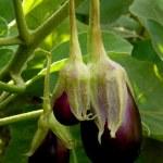 Eggplant — Stock Photo #53872201