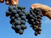 2 つのブドウのクラスター — ストック写真