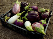 Home grown eggplants — Foto Stock