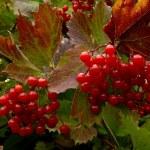 Red viburnum — Stock Photo #56604727