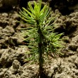 Tiny fir tree seedling — Stock Photo #58414093