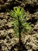Tiny fir tree seedling — Stock Photo