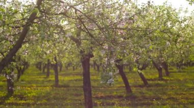 Panorama of blossoming apple orchard — Stock Video