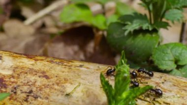 Ants running along the trunk, filmed with slider — Stock Video