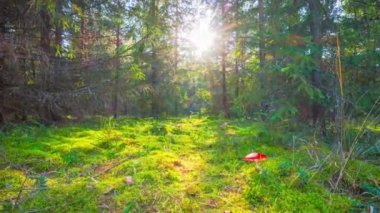 Magic forest and toadstools, time-lapse with crane — 图库视频影像