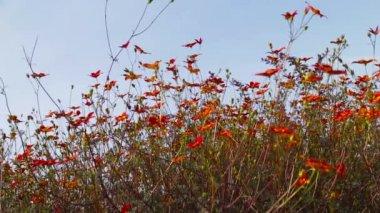 Orange flowers in the flowerbed — Stock Video