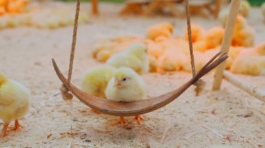 Small chicks play and relax in the paddock — Stock Video