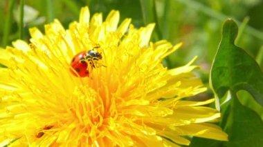 Ladybug on dandelion — Stock Video