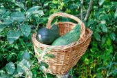 Vegetable marrows in a wattled basket among green foliage — Stock Photo