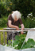 The old woman in a hothouse at bushes of Cucumbers — Stock Photo