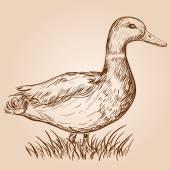 Hand drawn duck — Stock Vector