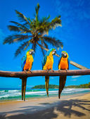Blue-and-Yellow Macaw Ara ararauna parrots — Stock Photo