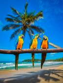 Blue-and-Yellow Macaw Ara ararauna parrots — Stock Photo