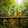 Blue-and-Yellow Macaw Ara ararauna in forest — Stock Photo #53884041