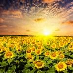 Sunflower field on susnet — Stock Photo #53884087