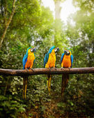Blue-and-Yellow Macaw Ara ararauna in forest — Stock Photo