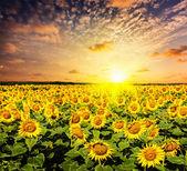Sunflower field on susnet — Foto de Stock