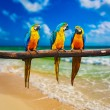 Blue-and-Yellow Macaw parrots on beach — Stock Photo #55519043