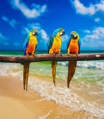 Blue-and-Yellow Macaw parrots on beach — Stock Photo