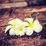 Frangipani plumeria flowers — Stock Photo #55532457